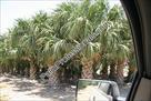 Click The Description About This Palm Tree For More Information